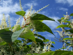 Luckily Knotweed does not produce seed in the UK